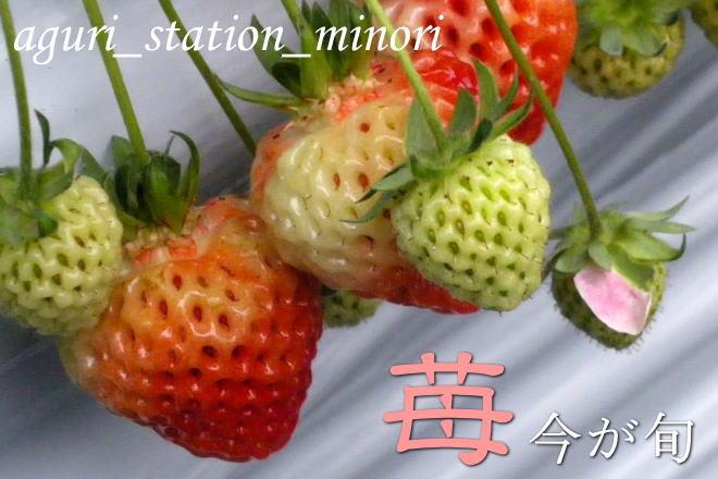 苺は、今が旬の果物です。あぐりステーションみのり