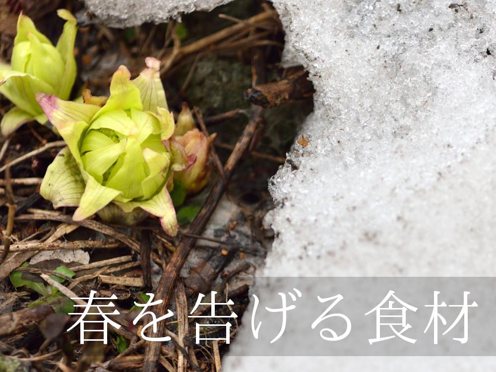 ふきのとうは、春の訪れを告げる食材