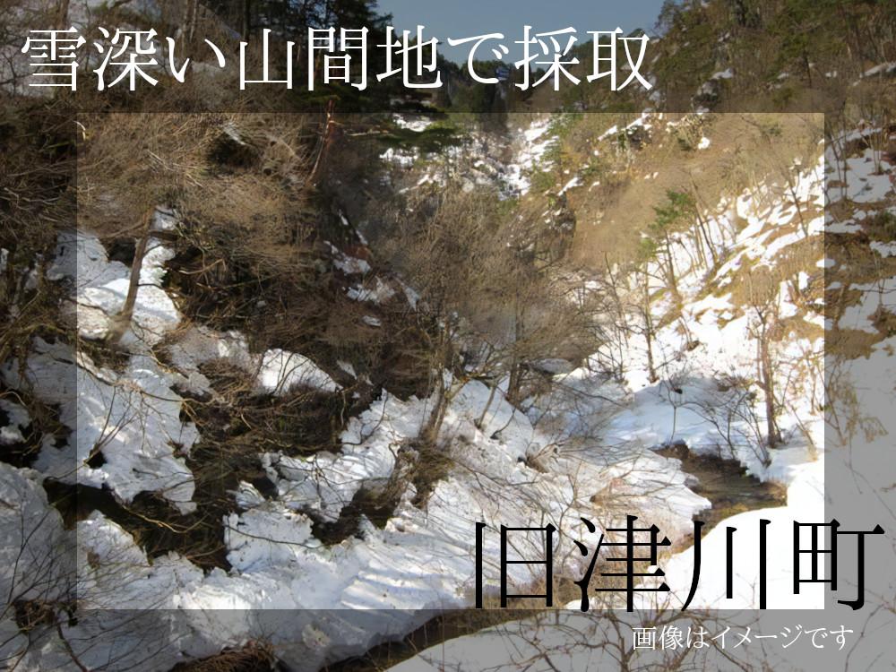 旧津川町の雪深い山間地で採取したふきのとうです