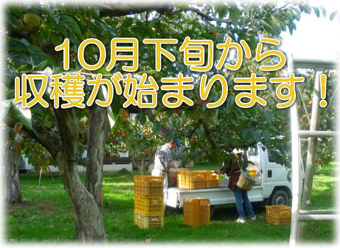 【干し柿用の渋柿】新潟産平たねなし柿は、10月下旬から収穫が始まります。